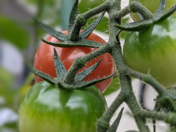 スマホ撮影サンプル【Pixel3aで撮った写真】ミニトマト